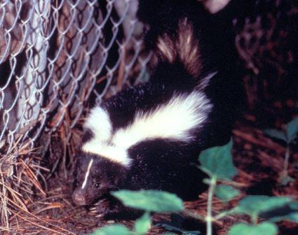 skunk_web